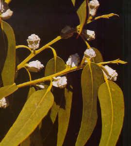Flora medcinal - Informacion sobre el eucalipto ...